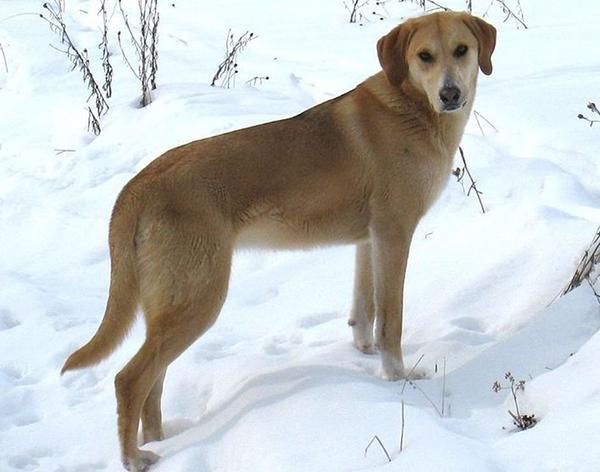 русская гончая собака описание