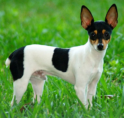 Американский той-фокстерьер (American Toy Fox Terrier)