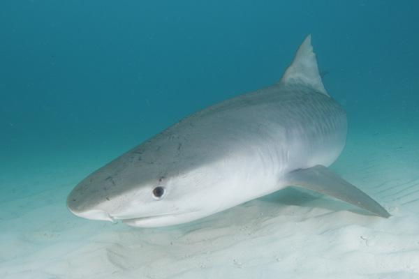 Обычно тигровая акула обитает в открытом океане, однако голод может...