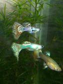аквариумные рыбки которые живут с гуппи фото