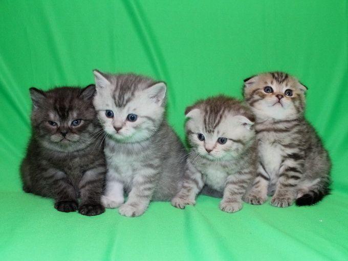 котенок породой шотландский вислоухий фото #10