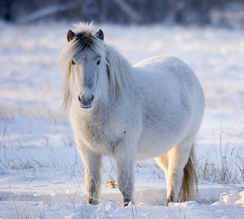 Сылгы или Саха ата - якутская лошадь.