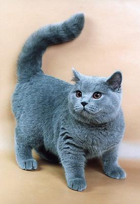 Брітанская короткошерста кошка