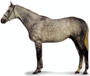 Чистокровная верховая порода лошадей Chistokrovnaya-verhovaya