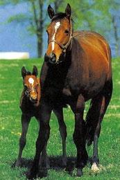 Чистокровная верховая порода лошадей Chistokrovnayaverhovaya3_01