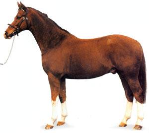 Датская теплокровная порода лошадей Datskaya-teplokrov1