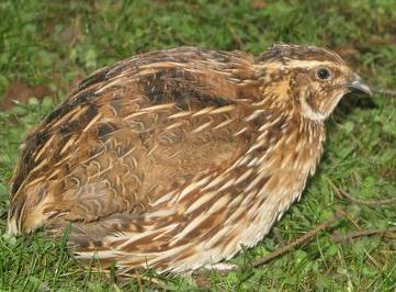 индейки фото птицы