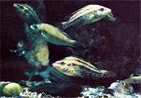 Рыбы неплохо себя чувствуют в воде с океанической соленостью.