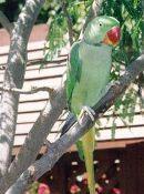 Александрийский попугай: описание вида, внешний вид и фото