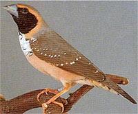 Амадина бриллиантовая: описание вида, внешний вид и фото
