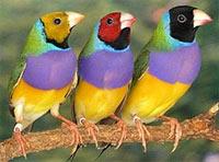 Амадины гульда: описание вида птиц, внешний вид и фото