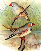 Зебровые амадины: описание вида птиц, внешний вид и фото