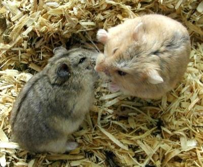 Хомяк принадлежит к мышиным (Muridae), к...