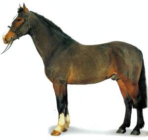 Ирландская упряжная порода лошадей Irlan-upr1