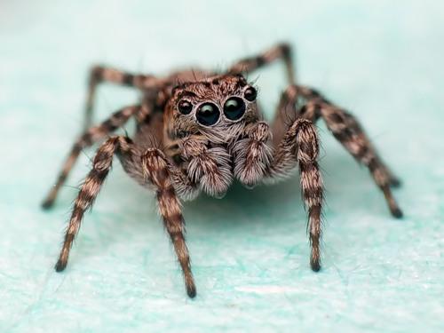 паук мухолов фото