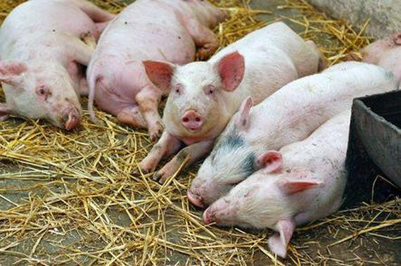 Отравление поваренной солью у свиней история болезни