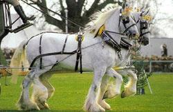 Шайрская порода лошадей Shajr3