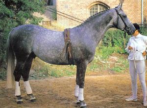 Шведская теплокровная порода лошадей Shved-teplokrov1
