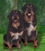 Тибетский мастиф, (Tibetan Mastiff), порода служебных собак.