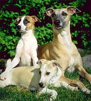 собаки уиппет фото