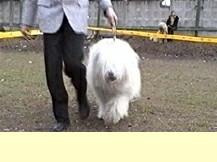 Южнорусская овчарка Фото.