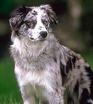 Питомцы о - Просмотр темы - Породы собак