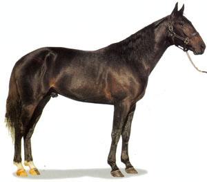 Стандардбредная порода лошадей Standard1