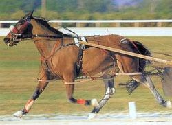 Стандардбредная порода лошадей Standard3
