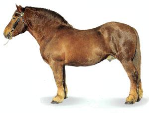 Суффолькская порода лошадей Suffolk1