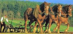 Суффолькская порода лошадей Suffolk3