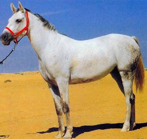 Терская порода лошадей Terskaya1