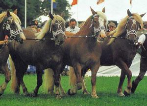 Южно-германская порода лошадей Ujno-germ1