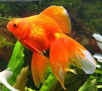 Мне сег первый раз приснилась рыбка music ,золотая такая,аквариумная..не.